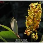 ทองประกายแสด – Byrsonima crassifolia