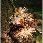 อัมพวา Cynometra cauliflora