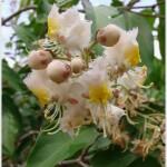 โนรา ~~ Hiptage benghalensis ssp. benghalensis