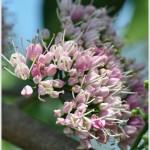 เจ้าหญิงสีชมพู – Melicope elleryana