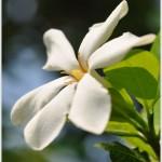 พุดผา ** Gardenia collinsae