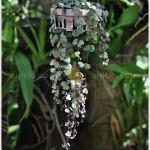 สายป่านดวงใจ – Ceropegia woodii