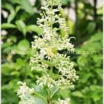 อัคคีทวาร ^^  Clerodendrum serratum