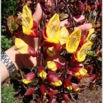 Clock Vine – Thunbergia mysorensis