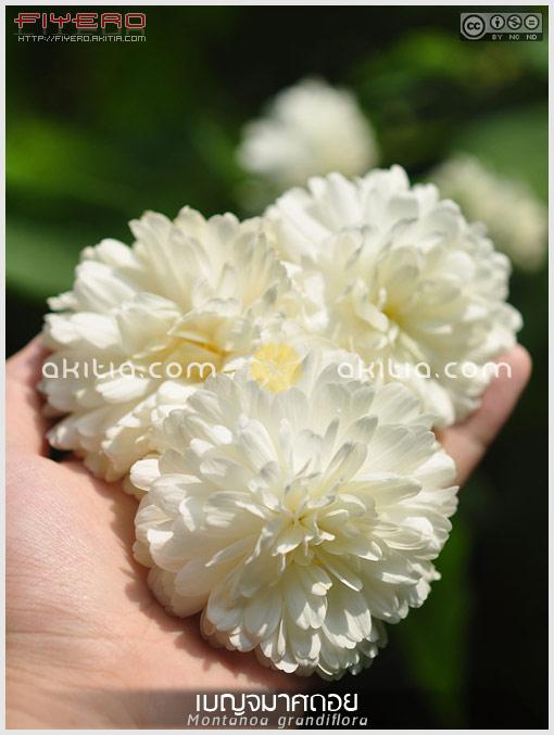 เบญจมาศดอย, Montanoa grandiflora, Montanoa bipinnatifida, Tree Chrysanthemum, Pom Pom Tree, Daisy Tree, ดอกสีขาว, ไม้พุ่ม, ไม้ดอก, ไม้ประดับ, ต้นไม้, ดอกไม้, aKitia.Com