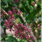 เจ้าหญิงสีชมพูแคระ – Melicope rubra