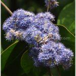 พลองใหญ่ – Memecylon ovatum
