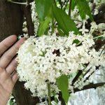 ฟาเลเรีย ++ Phaleria clerodendron