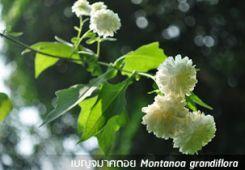 เบญจมาศดอย ++ Montanoa grandiflora
