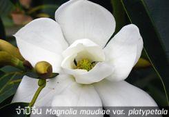 จำปีจีน – Magnolia maudiae var. platypetala