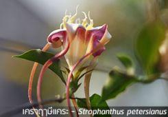 เคราฤๅษีแคระ – Strophanthus petersianus