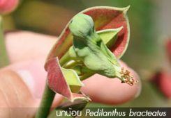 นกน้อย ~~ Pedilanthus bracteatus