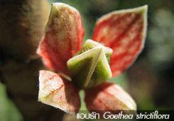 แอบรัก Goethea strictiflora