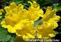 คอร์เดียเหลือง Cordia lutea