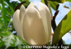 จำปีแขกหลวง Magnolia x foggii