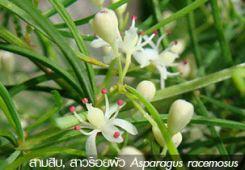 สามสิบ Asparagus racemosus