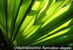 ปาล์มเจ้าเมืองถลาง – Kerriodoxa elegans