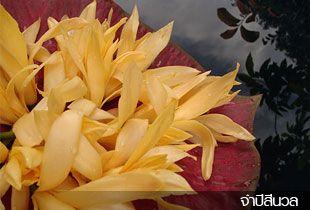"""จำปีสีนวล Magnolia """"Sinuan"""""""