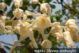 พะยอม ** Shorea roxburghii