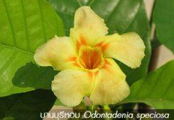 บานบุรีหอม – Odontadenia speciosa