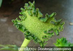 เรดาร์ใบองุ่น ++ Dorstenia contrajerva