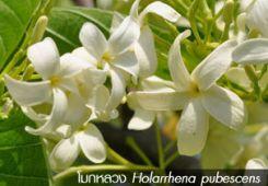 โมกหลวง ~~ Holarrhena pubescens