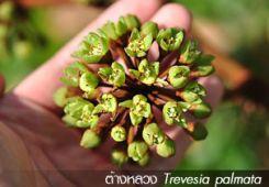 ต้างหลวง – Trevesia palmata
