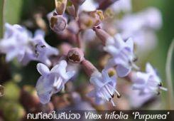 คนทีสอใบม่วง ~~ Vitex trifolia 'Purpurea'