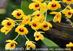 เอื้องคำตาดำ – Dendrobium chrysotoxum var. suavissimum