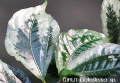 อิเหนา ~~ Elatostema sp.