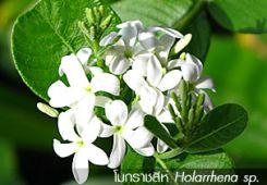 โมกราชสีห์ – Holarrhena sp.