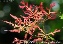 เมเปิลญี่ปุ่น ++ Acer palmatum var. dissectum 'Ornatum'
