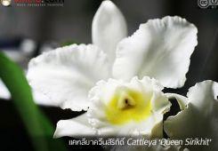กล้วยไม้แคทลียาควีนสิริกิติ์ ++ Cattleya 'Queen Sirikhit'