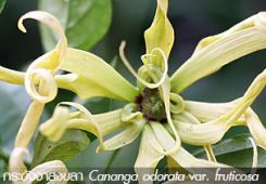กระดังงาสงขลา ++ Cananga odorata var. fruticosa
