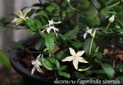 เขี้ยวกระจง ++ Fagerlindia sinensis