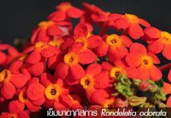 เข็มมาดากัสการ์ ++ Rondeletia odorata