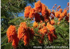 ทองพลุ – Colvillea racemosa
