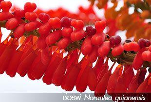 ช่อรพี ++ Norantea guianensis