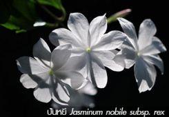 ปันหยี ++ Jasminum nobile subsp. rex