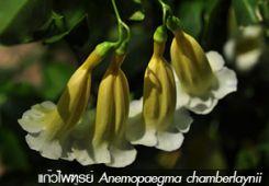 แก้วไพฑูรย์ ++ Anemopaegma chamberlaynii