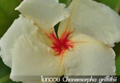 โมกดอย ++ Chonemorpha griffithii