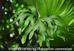ชายผ้าสีดาสายม่าน – Platycerium coronarium