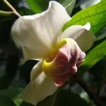 ลำดวนดอย (Mitrephora wangii)