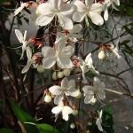 สร้อยสายเพชร แสนสวยในสวน (Clerodendrum smithianum)
