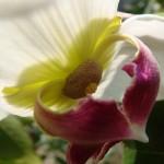 มหาพรหม (Mitrephora winitii)