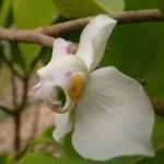 พรหมขาว (Mitrephora alba)