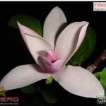 จำปีแดง จำปาแดง Magnolia x soulangeana