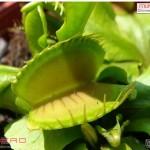 กาบหอยแครง ~~ Venus Flytrap