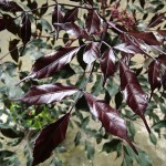 ฉัตรนาก Leea guineensis 'Burgundy'