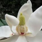แมกโนเลียดอกใหญ่ ++ Magnolia grandiflora